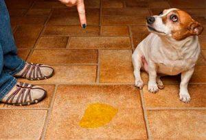 evitar que los perros orinen dentro de la casa